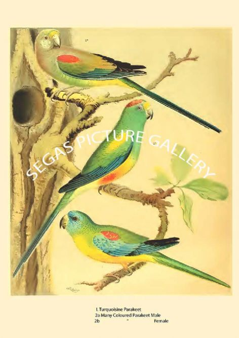 Fine art print of the Turquoisine Parrakeet & Many Coloured Parrakeet  by the artist William Rutledge (1878)